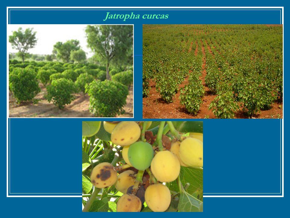 Jatropha curcas