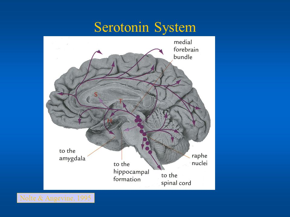 Serotonin System Nolte & Angevine, 1995