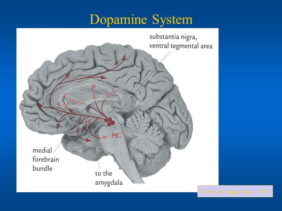 Dopamine System Nolte & Angevine, 1995