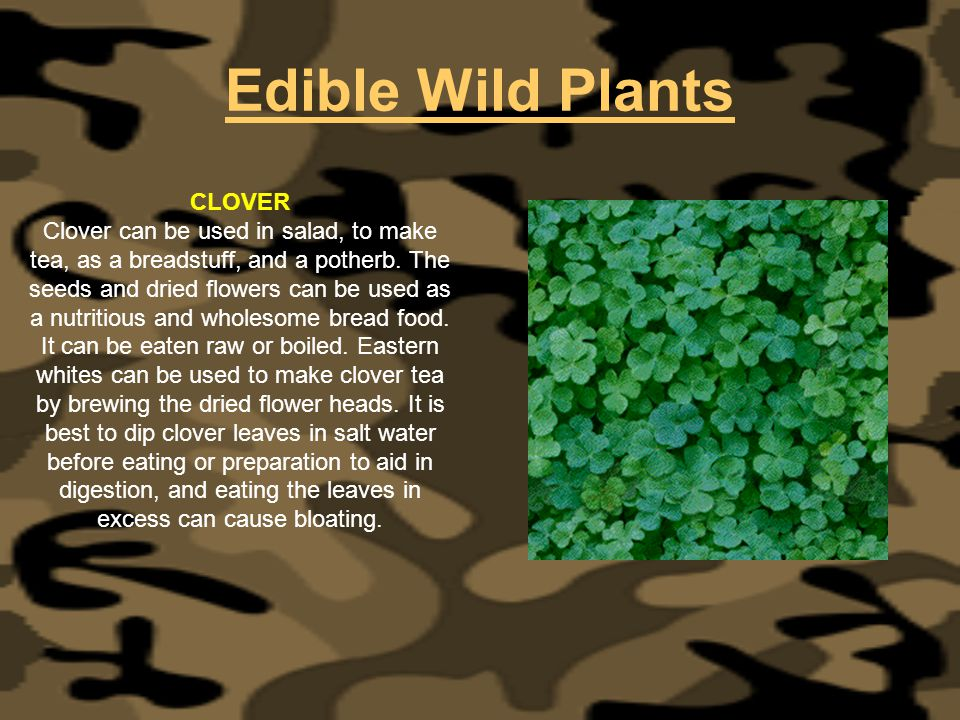 Edible Wild Plants CLOVER Clover can be used in salad, to make tea, as a breadstuff, and a potherb. The seeds and dried flowers can be used as a nutri