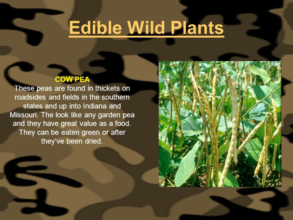 Edible Wild Plants COW PEA These peas are found in thickets on roadsides and fields in the southern states and up into Indiana and Missouri. The look