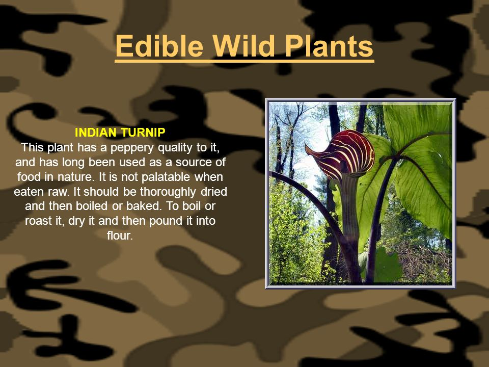Edible Wild Plants INDIAN TURNIP This plant has a peppery quality to it, and has long been used as a source of food in nature. It is not palatable whe