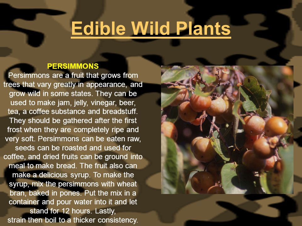 Edible Wild Plants PERSIMMONS Persimmons are a fruit that grows from trees that vary greatly in appearance, and grow wild in some states. They can be
