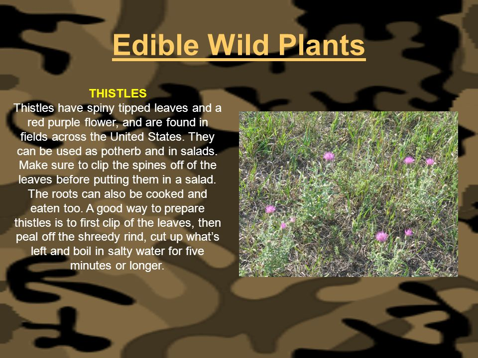 Edible Wild Plants THISTLES Thistles have spiny tipped leaves and a red purple flower, and are found in fields across the United States. They can be u