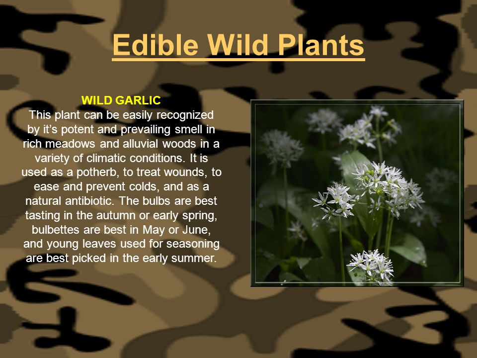 Edible Wild Plants WILD GARLIC This plant can be easily recognized by its potent and prevailing smell in rich meadows and alluvial woods in a variety