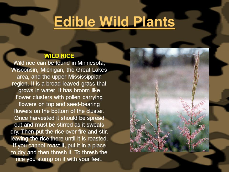 Edible Wild Plants WILD RICE Wild rice can be found in Minnesota, Wisconsin, Michigan, the Great Lakes area, and the upper Mississippian region. It is