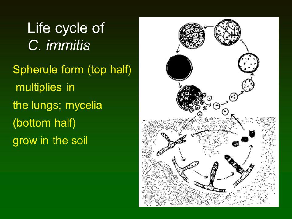 Spherule form (top half) multiplies in the lungs; mycelia (bottom half) grow in the soil Life cycle of C. immitis