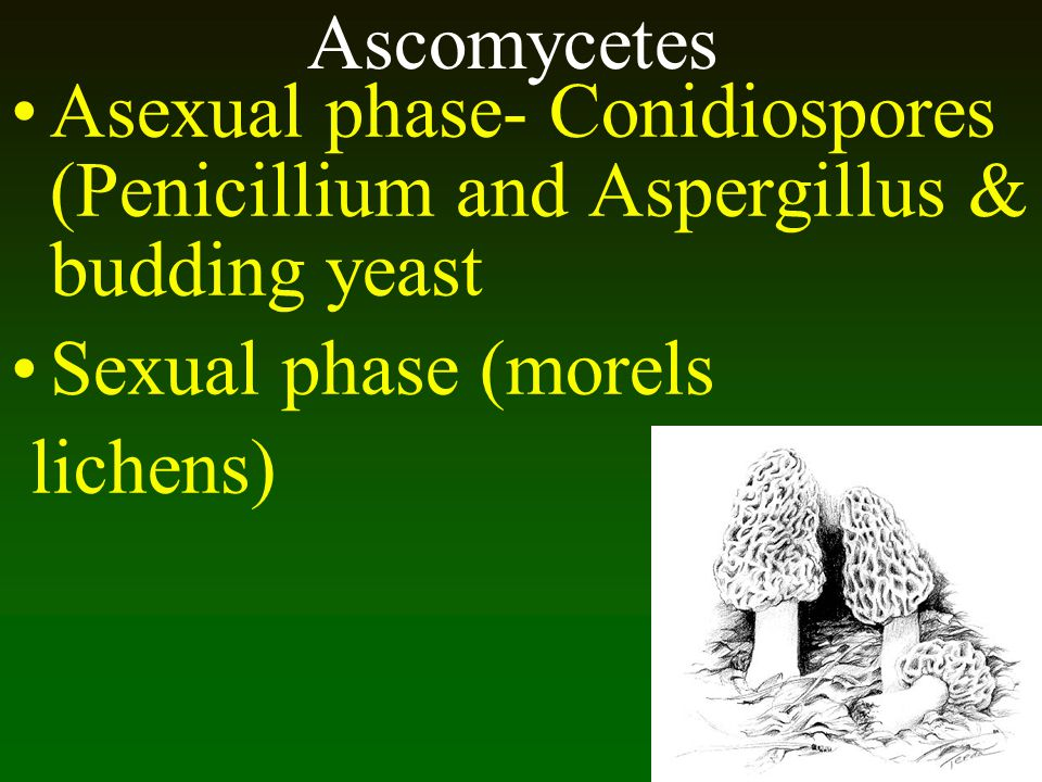 Ascomycetes Asexual phase- Conidiospores (Penicillium and Aspergillus & budding yeast Sexual phase (morels lichens)