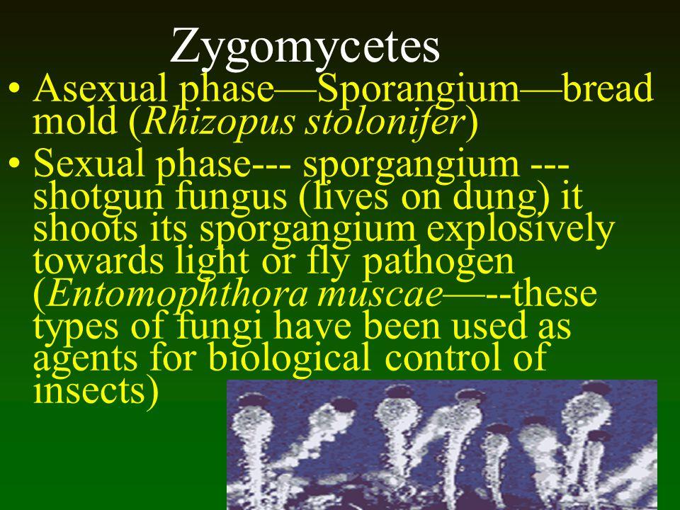 Zygomycetes Asexual phaseSporangiumbread mold (Rhizopus stolonifer) Sexual phase--- sporgangium --- shotgun fungus (lives on dung) it shoots its sporg
