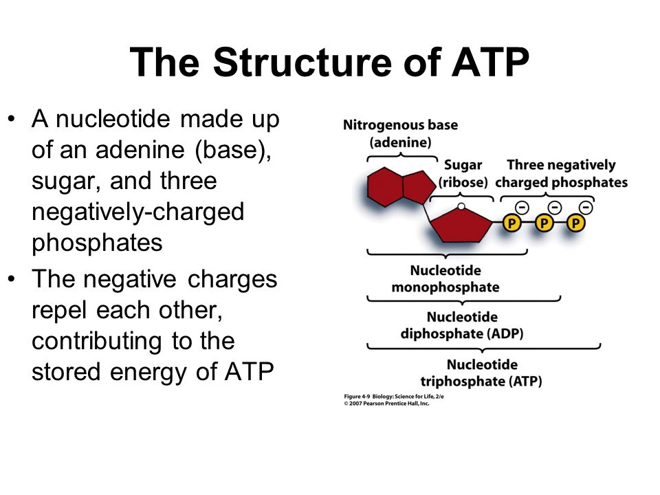 The Structure of ATP A nucleotide made up of an adenine (base), sugar, and three negatively-charged phosphates The negative charges repel each other, contributing to the stored energy of ATP
