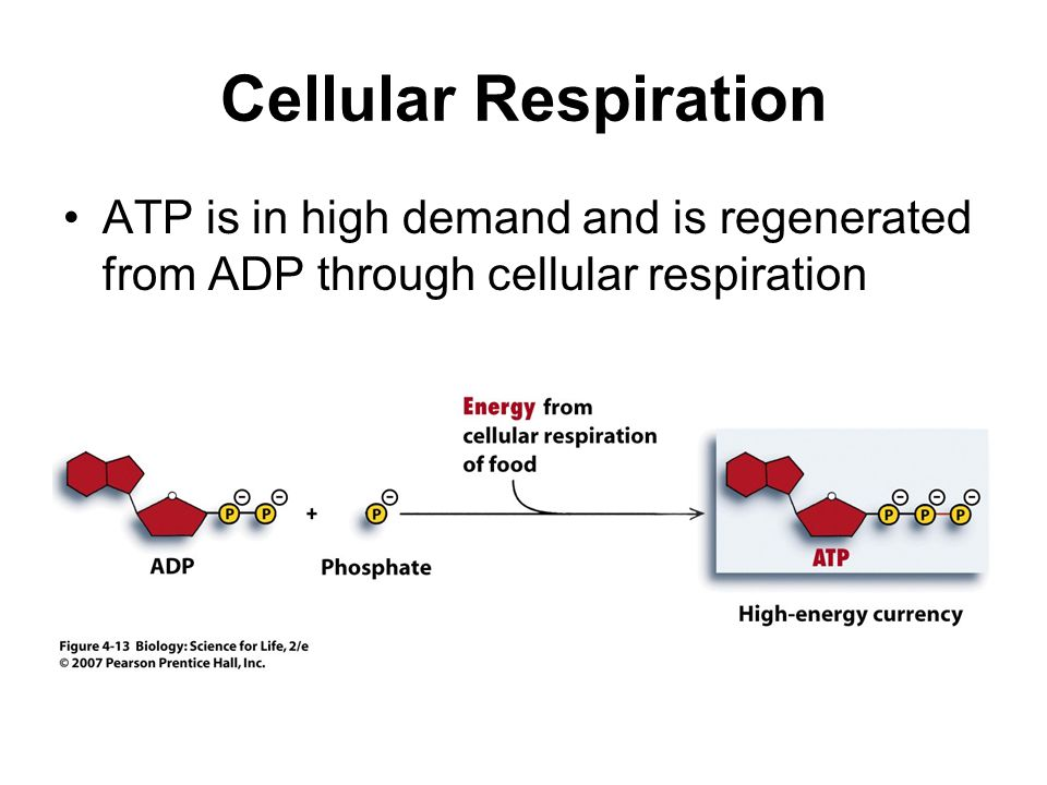 Cellular Respiration ATP is in high demand and is regenerated from ADP through cellular respiration