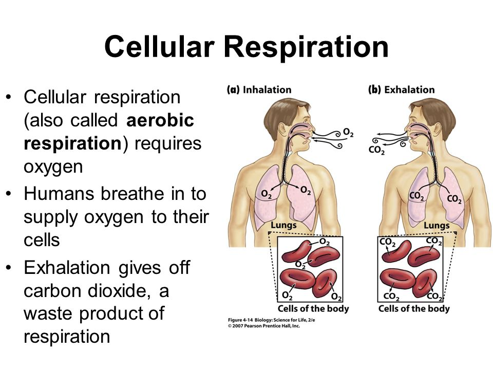Cellular Respiration Cellular respiration (also called aerobic respiration) requires oxygen Humans breathe in to supply oxygen to their cells Exhalation gives off carbon dioxide, a waste product of respiration