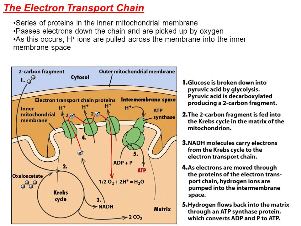 Series of proteins in the inner mitochondrial membrane Passes electrons down the chain and are picked up by oxygen As this occurs, H + ions are pulled across the membrane into the inner membrane space The Electron Transport Chain