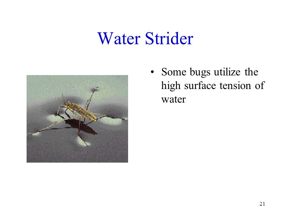 21 Water Strider Some bugs utilize the high surface tension of water