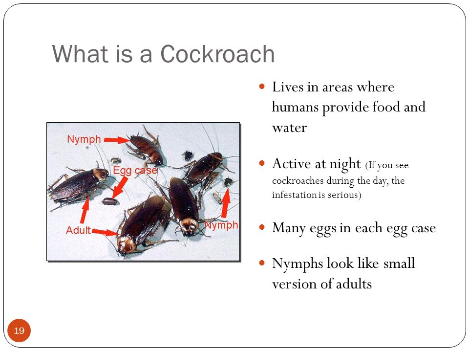What is a Cockroach Lives in areas where humans provide food and water Active at night (If you see cockroaches during the day, the infestation is serious) Many eggs in each egg case Nymphs look like small version of adults 19