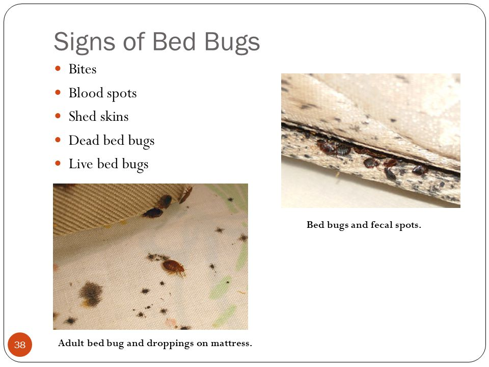 Signs of Bed Bugs Bites Blood spots Shed skins Dead bed bugs Live bed bugs 38 Adult bed bug and droppings on mattress. Bed bugs and fecal spots.