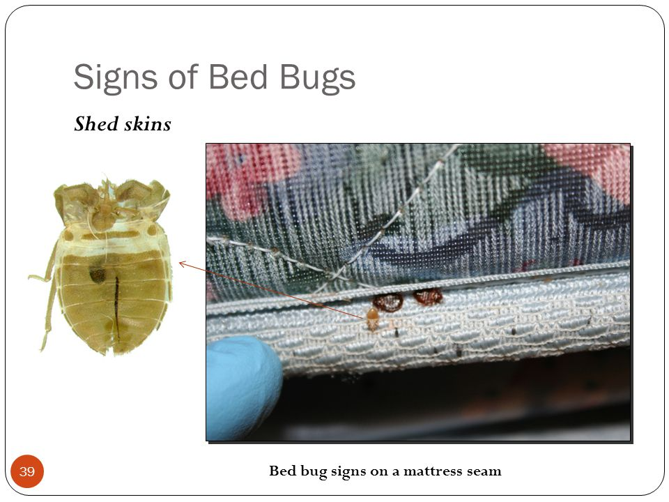 Signs of Bed Bugs Shed skins 39 Bed bug signs on a mattress seam