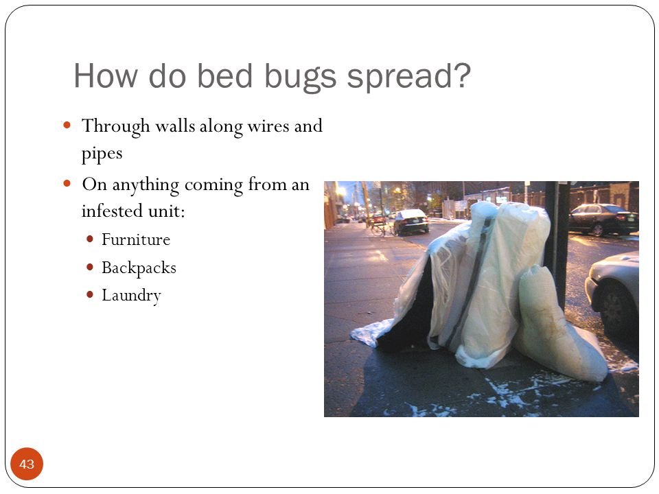 How do bed bugs spread? Through walls along wires and pipes On anything coming from an infested unit: Furniture Backpacks Laundry 43