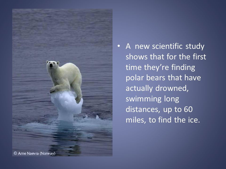A new scientific study shows that for the first time theyre finding polar bears that have actually drowned, swimming long distances, up to 60 miles, to find the ice.