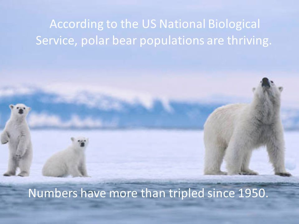 According to the US National Biological Service, polar bear populations are thriving. Numbers have more than tripled since 1950.