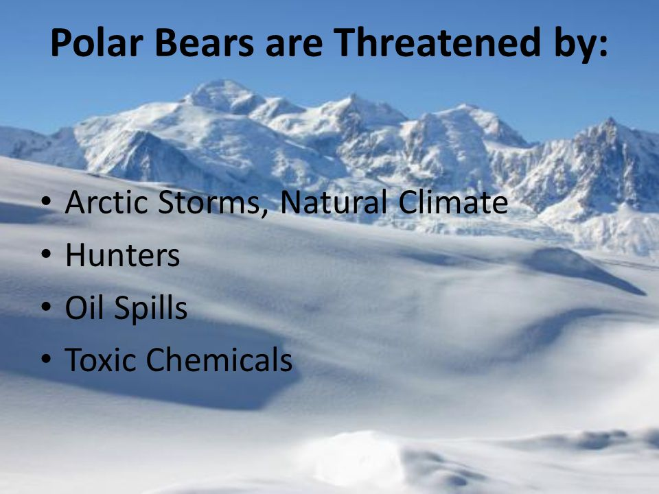 Polar Bears are Threatened by: Arctic Storms, Natural Climate Hunters Oil Spills Toxic Chemicals