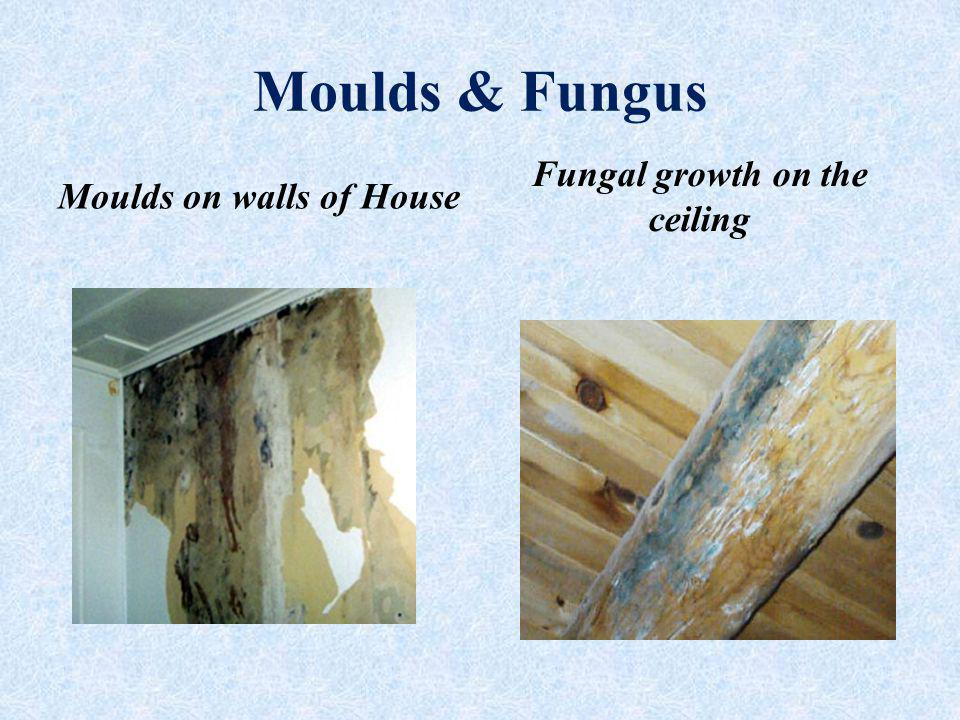 Moulds & Fungus Moulds on walls of House Fungal growth on the ceiling