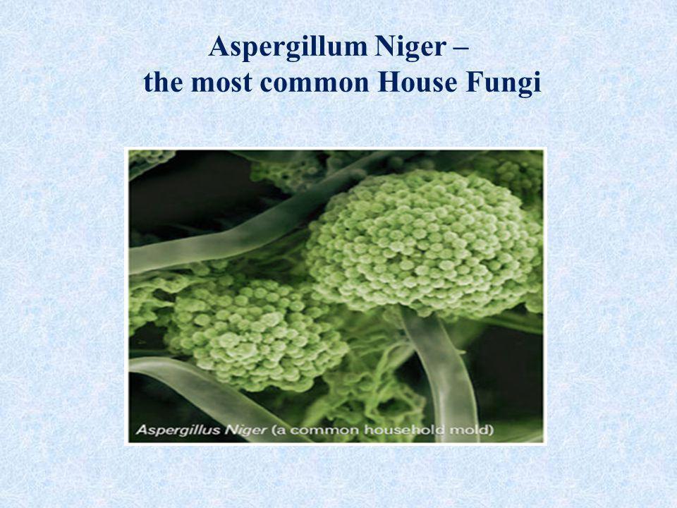 Aspergillum Niger – the most common House Fungi