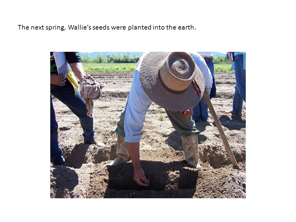 The next spring, Wallies seeds were planted into the earth.
