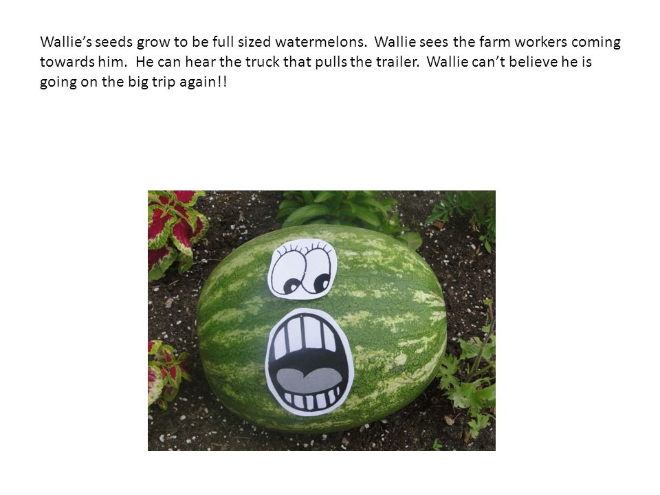 Wallies seeds grow to be full sized watermelons. Wallie sees the farm workers coming towards him. He can hear the truck that pulls the trailer. Wallie
