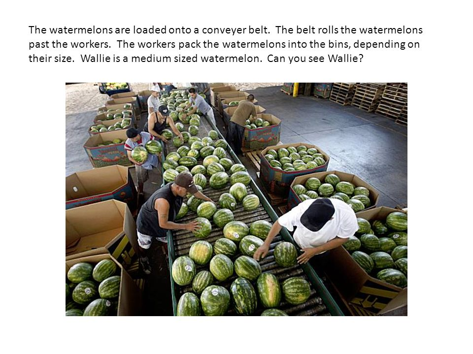 The watermelons are loaded onto a conveyer belt. The belt rolls the watermelons past the workers.