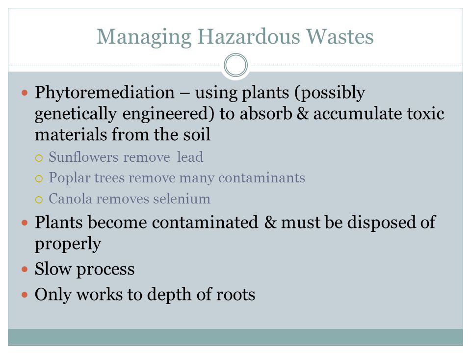 Managing Hazardous Wastes Phytoremediation – using plants (possibly genetically engineered) to absorb & accumulate toxic materials from the soil Sunfl