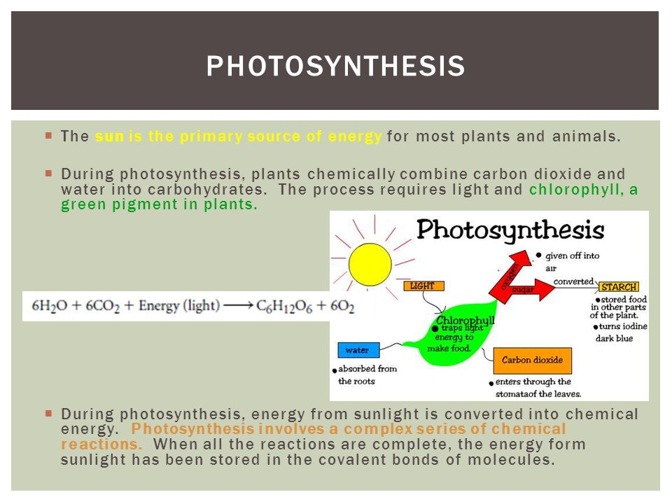 The sun is the primary source of energy for most plants and animals. During photosynthesis, plants chemically combine carbon dioxide and water into ca