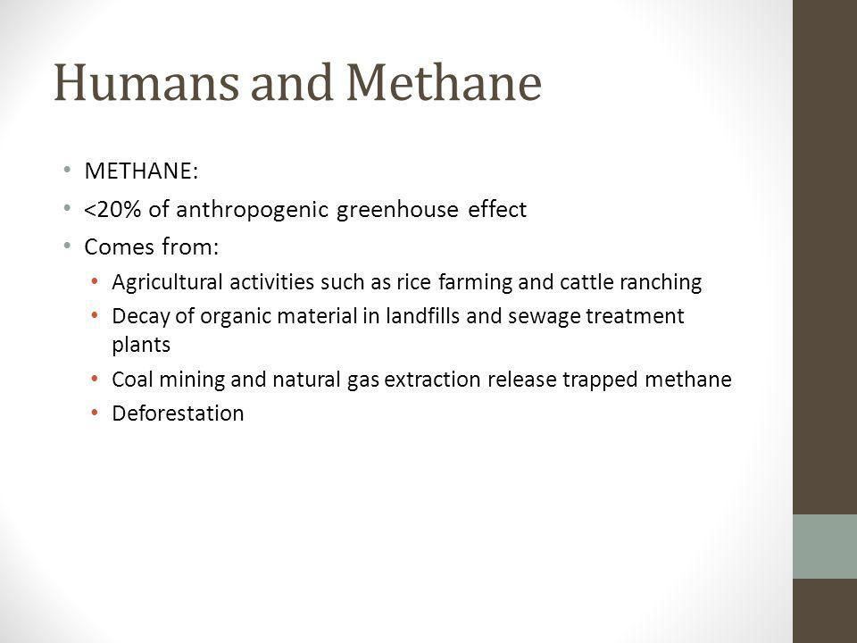 Humans and Methane METHANE: <20% of anthropogenic greenhouse effect Comes from: Agricultural activities such as rice farming and cattle ranching Decay
