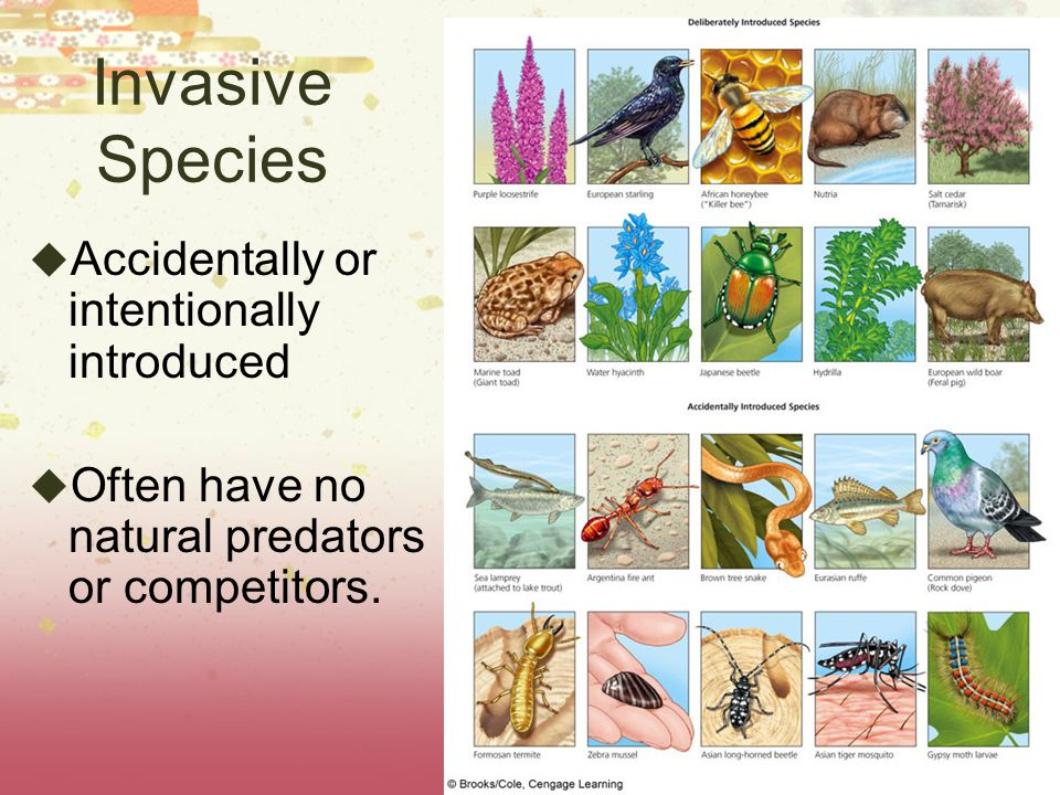 Invasive Species Accidentally or intentionally introduced Often have no natural predators or competitors.
