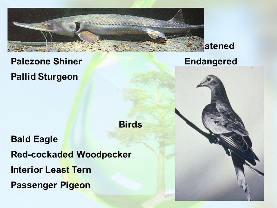 Fish Blackside DaceThreatened Palezone ShinerEndangered Pallid SturgeonEndangered Birds Bald EagleEndangered Red-cockaded WoodpeckerEndangered Interior Least TernEndangered Passenger PigeonExtinct