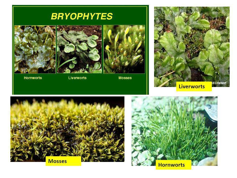 Liverworts Hornworts Mosses
