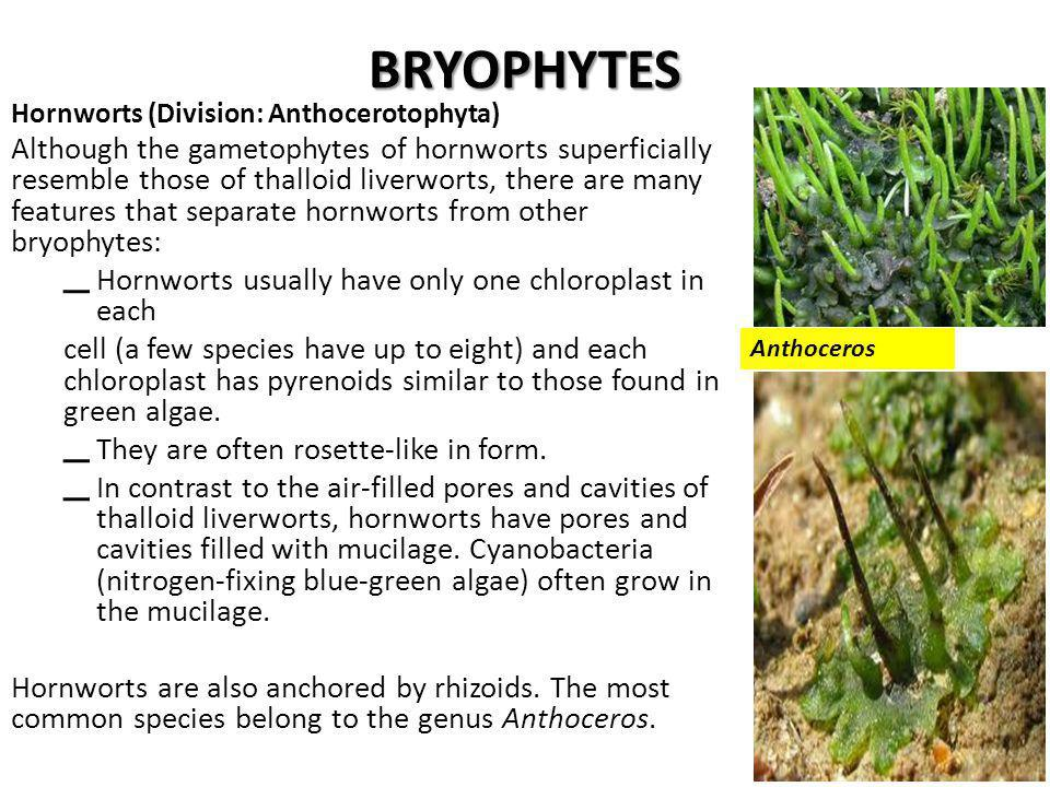 BRYOPHYTES Hornworts (Division: Anthocerotophyta) Although the gametophytes of hornworts superficially resemble those of thalloid liverworts, there are many features that separate hornworts from other bryophytes: – Hornworts usually have only one chloroplast in each cell (a few species have up to eight) and each chloroplast has pyrenoids similar to those found in green algae.