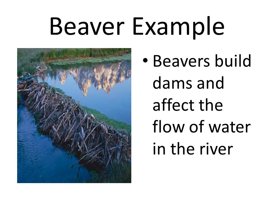 Beaver Example Beavers build dams and affect the flow of water in the river