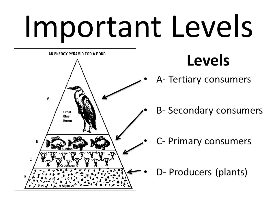 Important Levels Levels A- Tertiary consumers B- Secondary consumers C- Primary consumers D- Producers (plants)