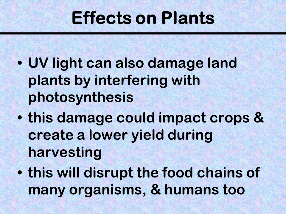 Effects on Plants UV light can also damage land plants by interfering with photosynthesis this damage could impact crops & create a lower yield during