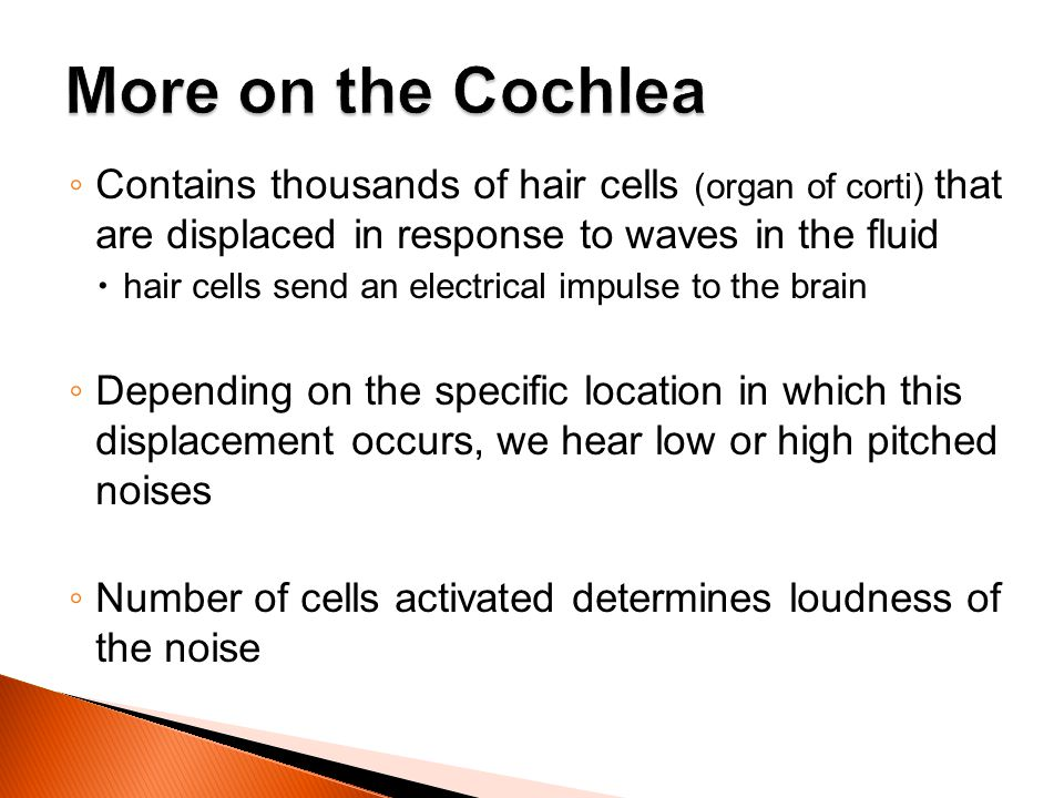 Contains thousands of hair cells (organ of corti) that are displaced in response to waves in the fluid hair cells send an electrical impulse to the br