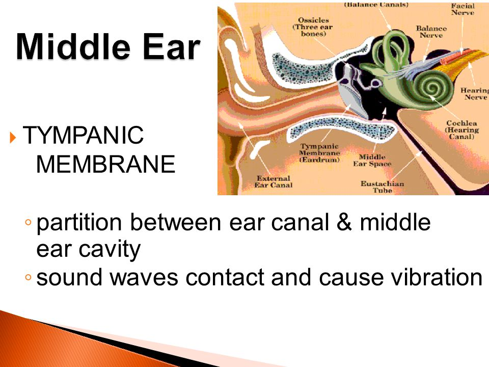 TYMPANIC MEMBRANE partition between ear canal & middle ear cavity sound waves contact and cause vibration