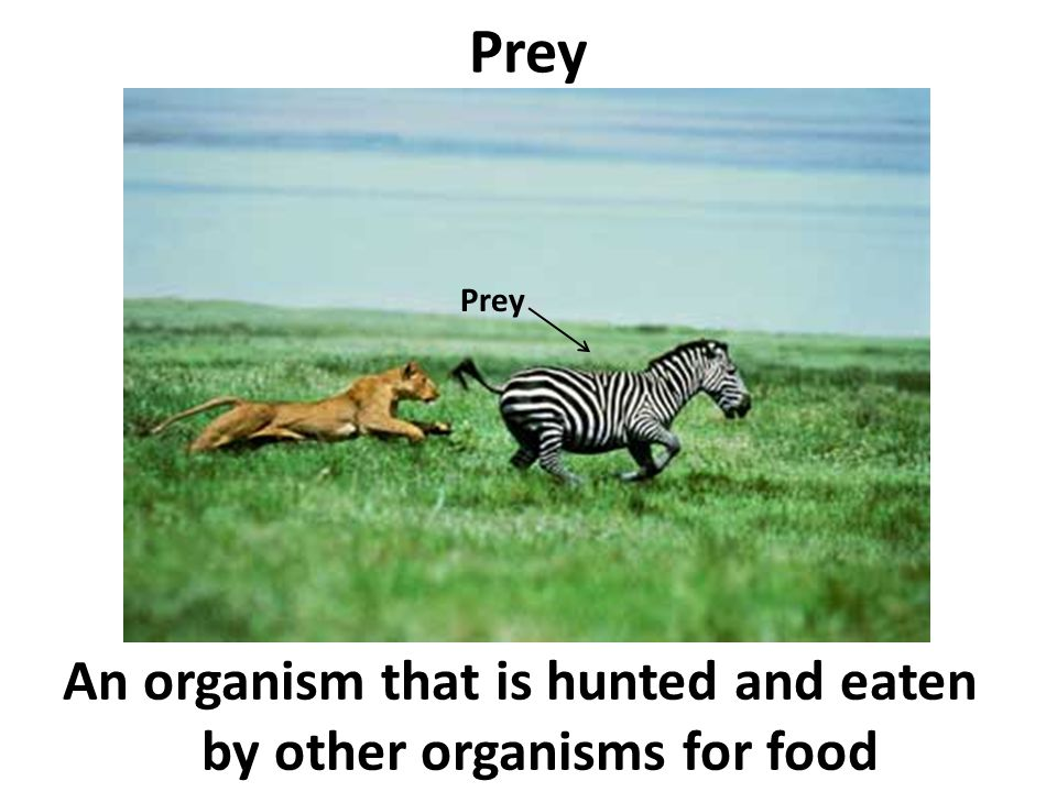 Prey An organism that is hunted and eaten by other organisms for food Prey
