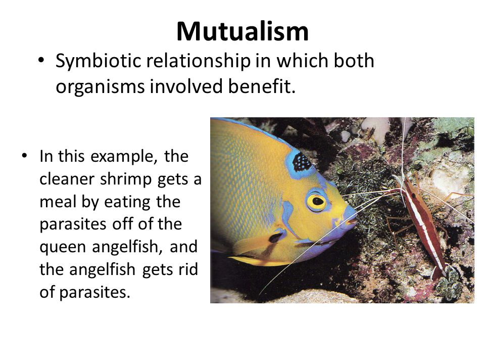 Mutualism In this example, the cleaner shrimp gets a meal by eating the parasites off of the queen angelfish, and the angelfish gets rid of parasites.