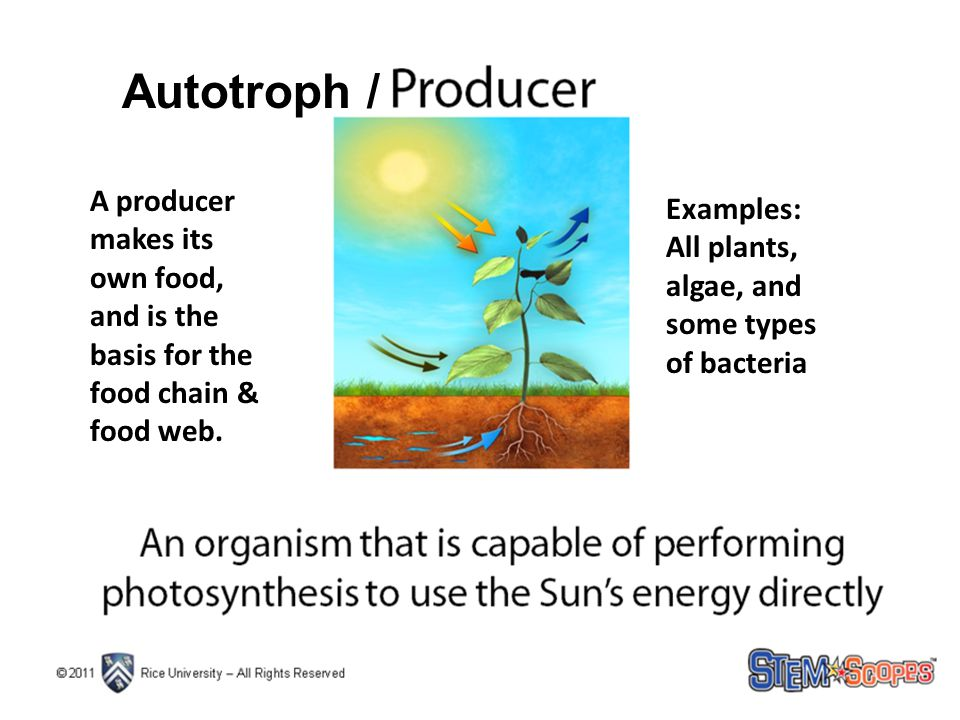 A producer makes its own food, and is the basis for the food chain & food web. Examples: All plants, algae, and some types of bacteria Autotroph /