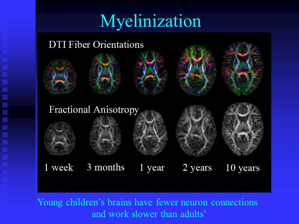 Myelinization Young childrens brains have fewer neuron connections and work slower than adults