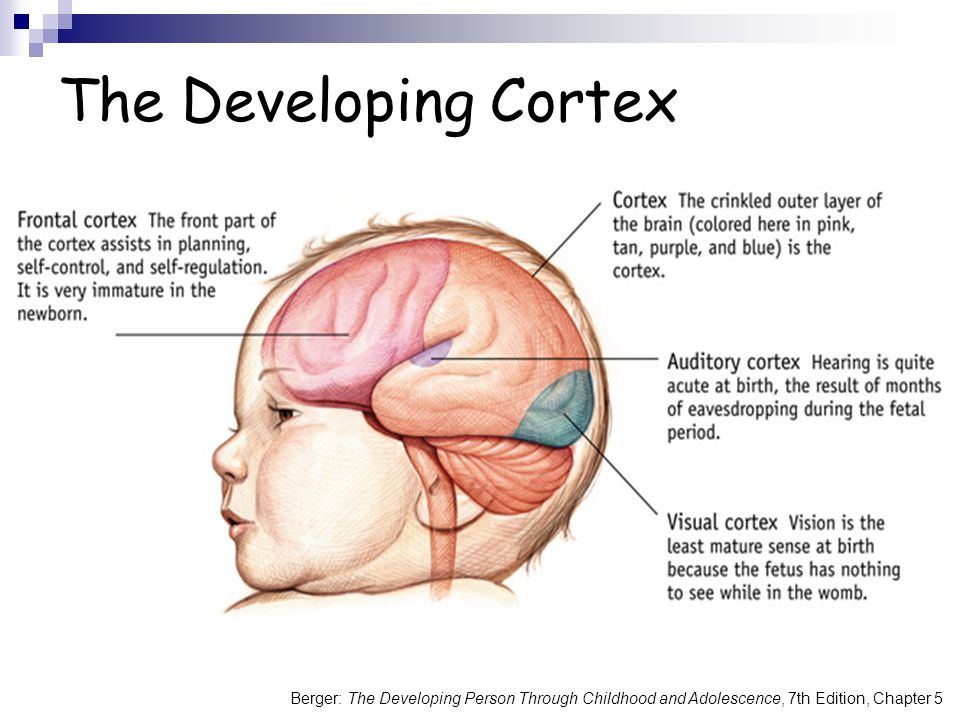 Berger: The Developing Person Through Childhood and Adolescence, 7th Edition, Chapter 5 The Developing Cortex