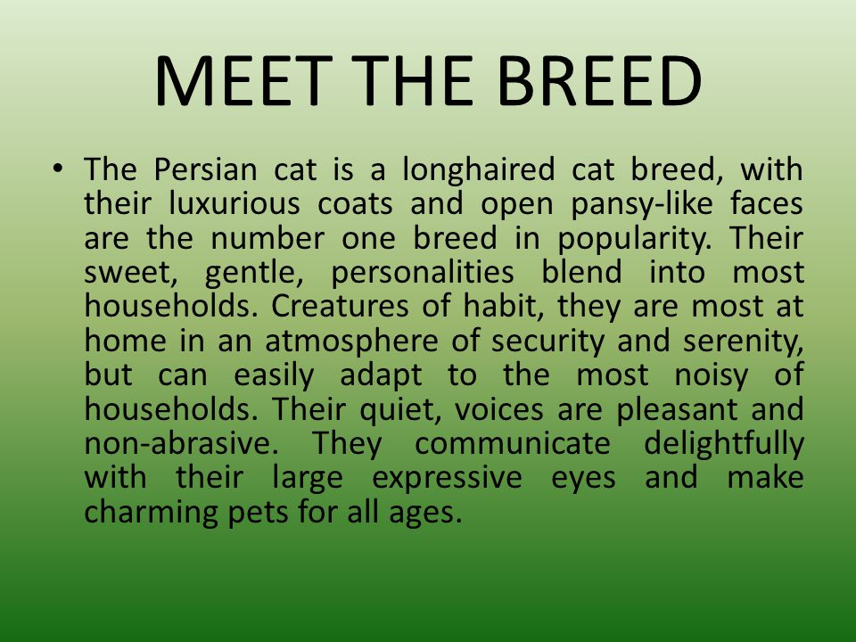 MEET THE BREED The Persian cat is a longhaired cat breed, with their luxurious coats and open pansy-like faces are the number one breed in popularity.
