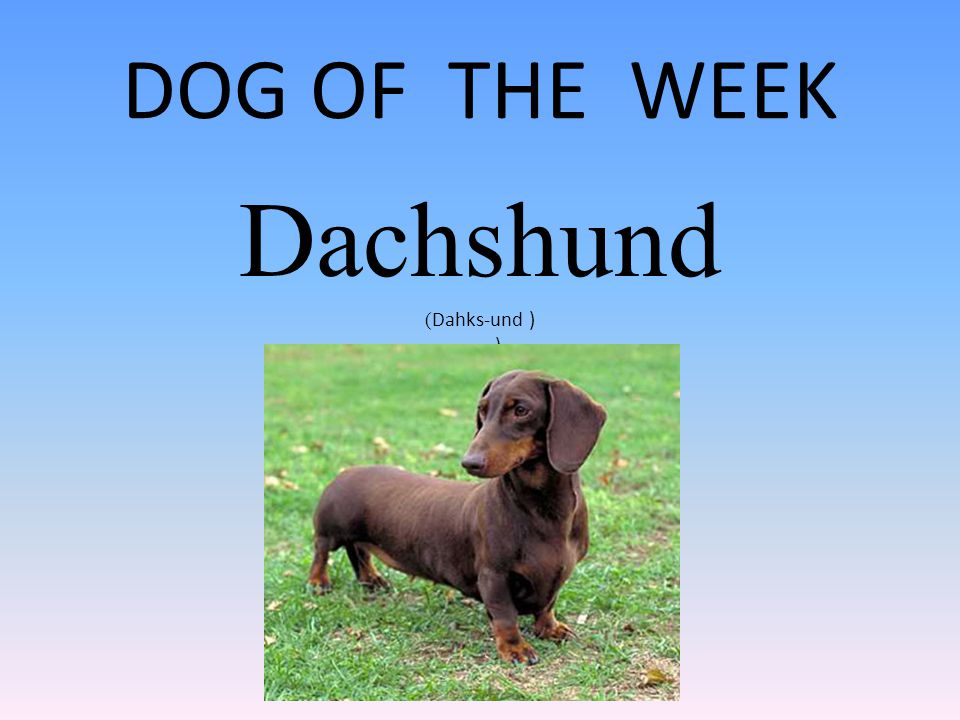 DOG OF THE WEEK Dachshund ( Dahks-und ) )
