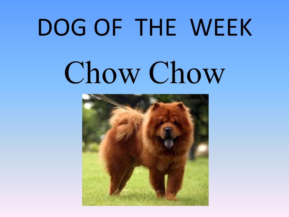 DOG OF THE WEEK Chow